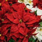 red-white-flowers-christmas-star-decor_81863-1816